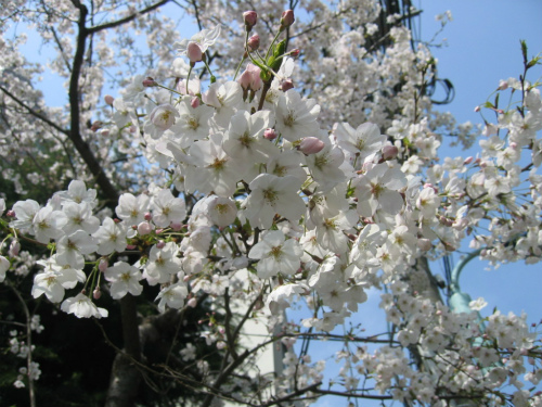本郷台中学校の桜