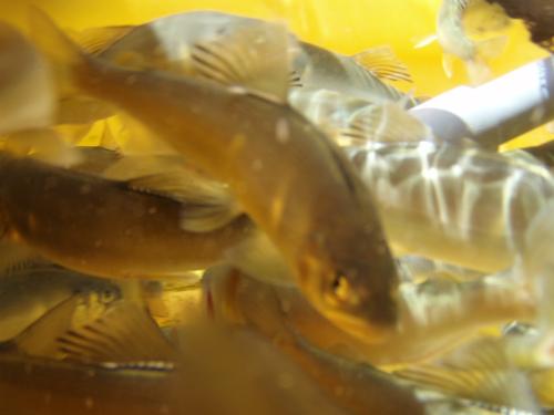 【揖保川】宍粟市の正起へ鮎を食べに