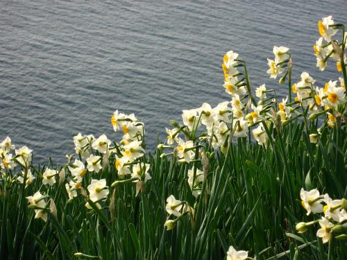 45度の急斜面に咲いている水仙