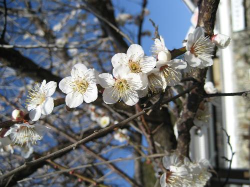 梅の花と、春を告げる菜の花が咲いていました