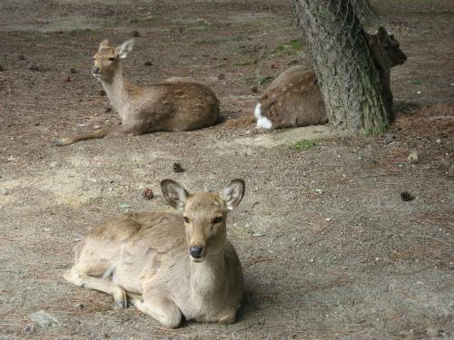 鹿せんべいを待つ鹿