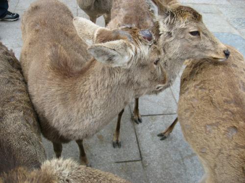 鹿せんべいを持っていると、鹿が寄って来ます