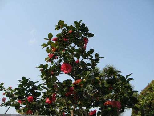 ツバキやヤマザクラが咲いていました