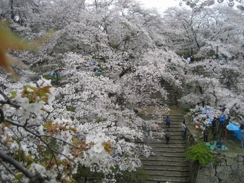 今年の桜は、少し咲き方が妖艶でないような気がしました