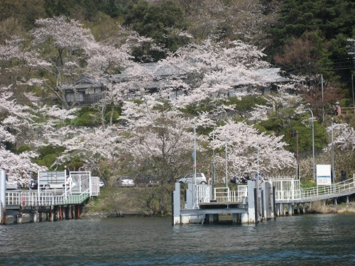 大井丸からの桜