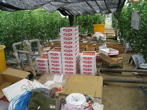 水耕栽培トマト