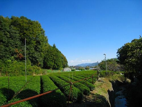大國寺 茶栽培