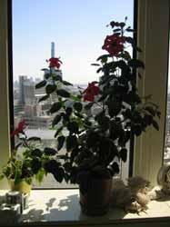 オフィスに咲くハイビスカス